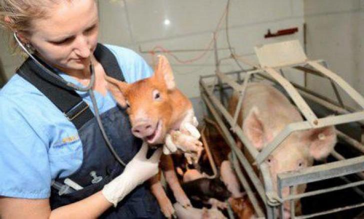 Александрович как лечить у свиней кашель истории